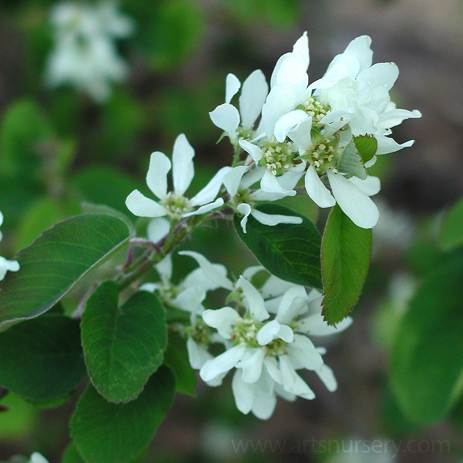 Small trees arts nursery ltd amelanchier or serviceberries are a large multi stemmed shrub sometimes grown as a small tree white flowers are borne in early spring and are followed by mightylinksfo