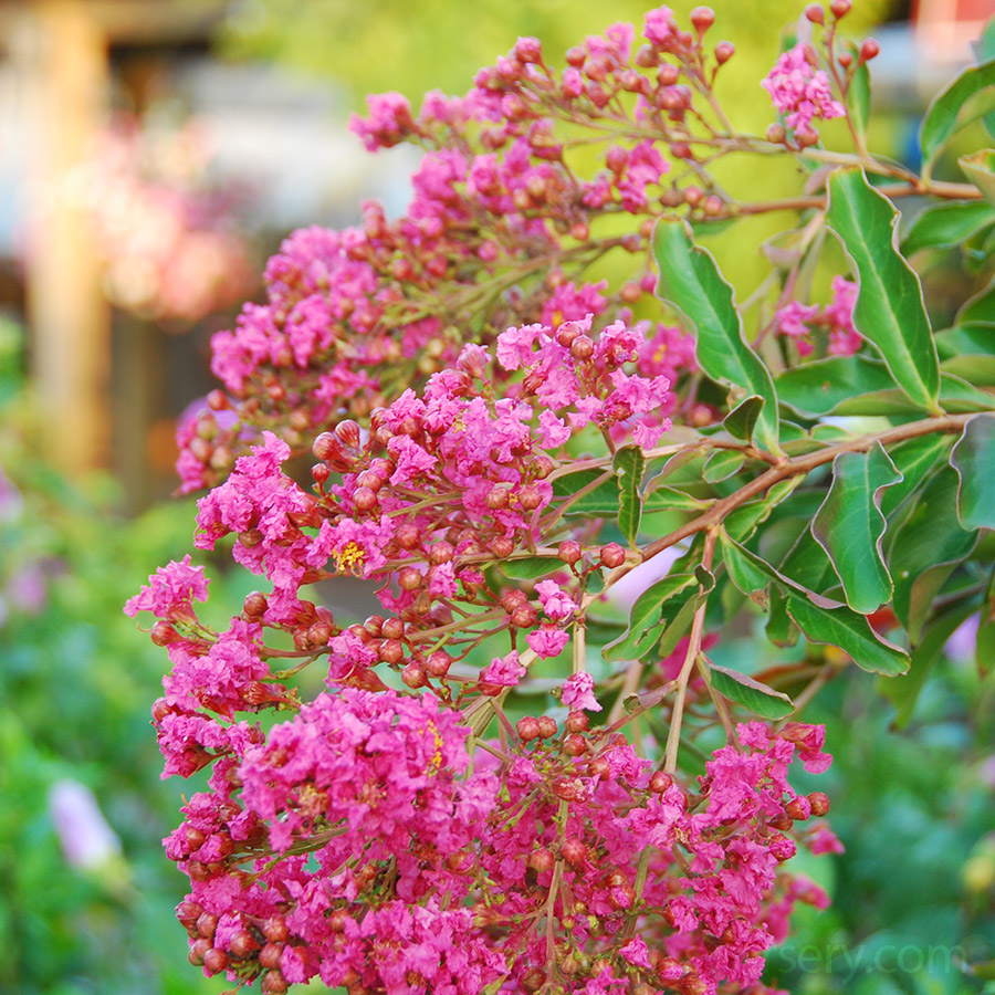 Small trees arts nursery ltd crape myrtles are another smallish tree that are very common in the south and are legendary at producing massive displays of colourful flowers mightylinksfo