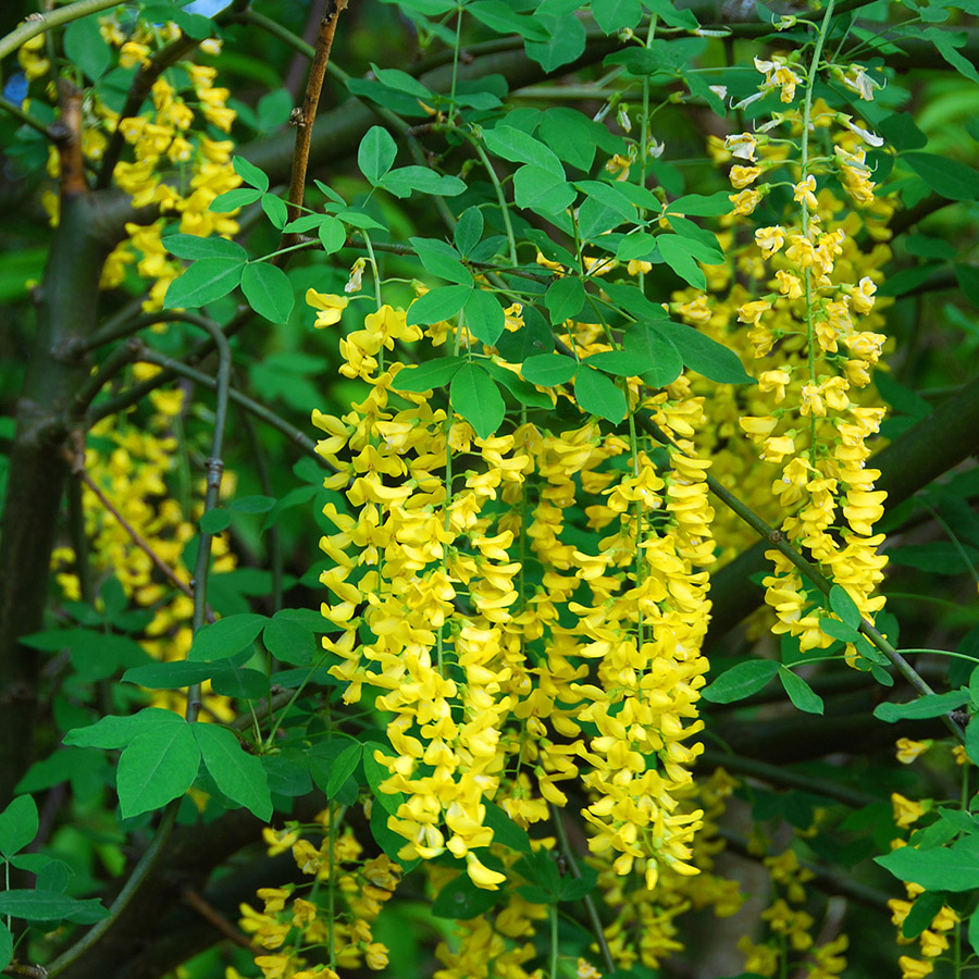Small trees art 39 s nursery ltd for Garden trees with yellow flowers