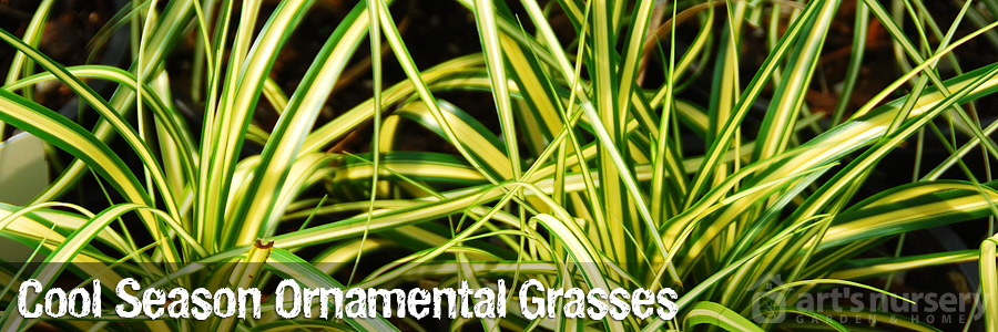Cool Season and Evergreen Grasses