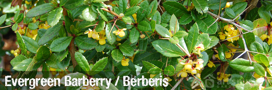 Evergreen Barberry