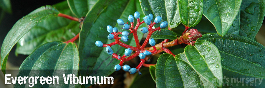 Evergreen Viburnum