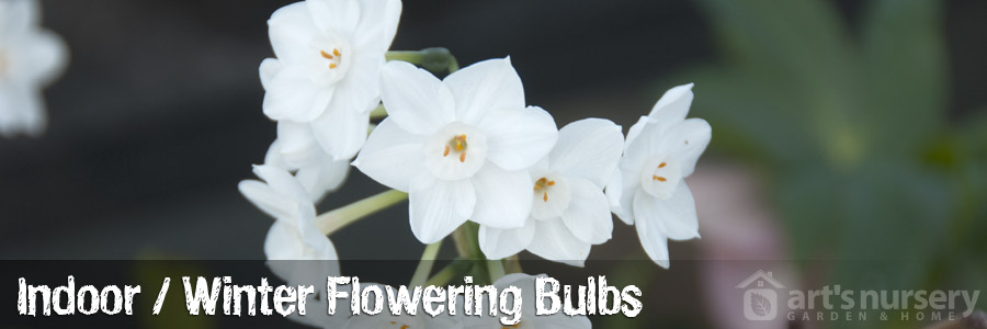 Winter Flowering Bulbs