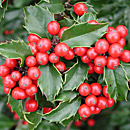 Holly, Evergreen
