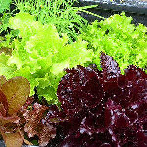 Lettuce and Salad Greens Seeds