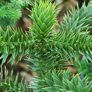 Other Conifers