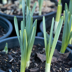 Bulbs - Potted