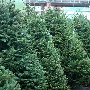 custom flocked christmas trees