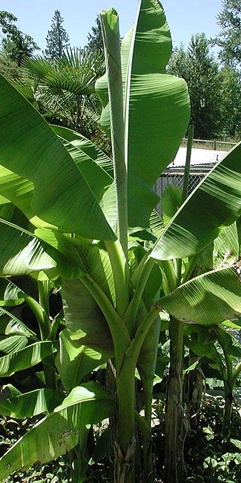 banana plant rentals