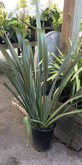 new Zealand flax rentals