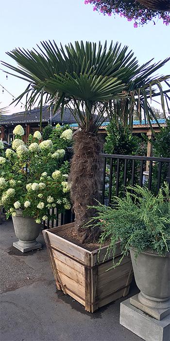 palm tree rentals