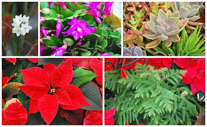 Christmas Florals, Poinsettias, Christmas Cactus