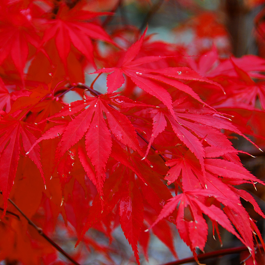 Acer palmatum 'Twombley's Red Sentinel'