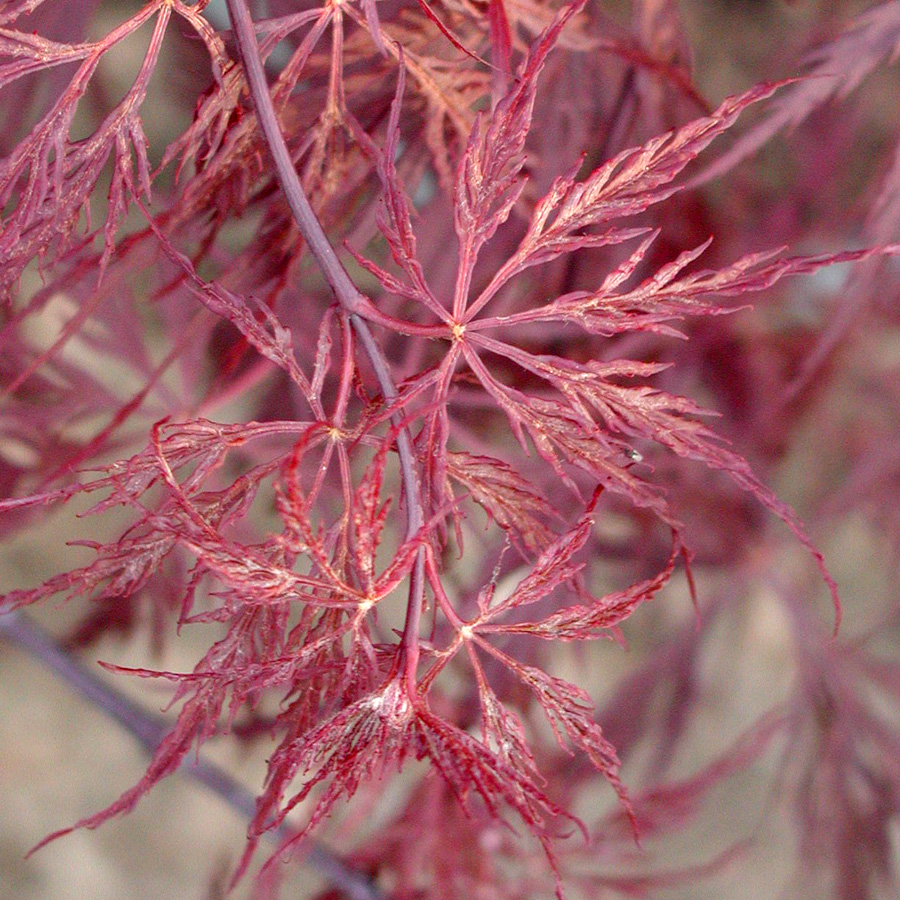acer palmatum dissectum 39 red dragon 39. Black Bedroom Furniture Sets. Home Design Ideas