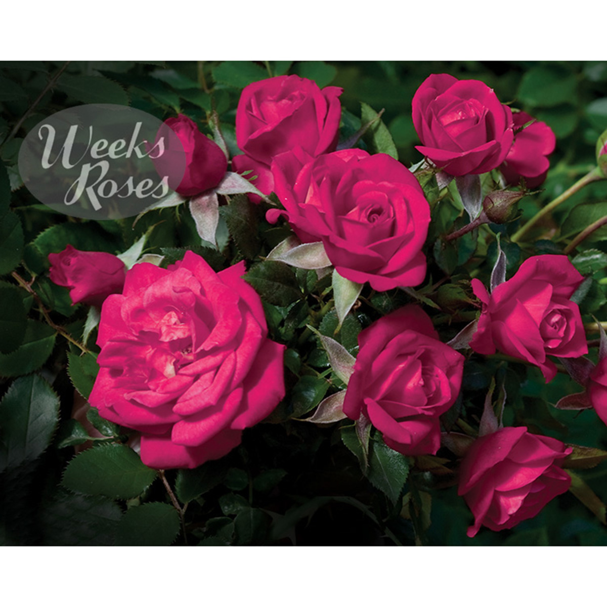 Rosa 'Be My Baby'- Miniature