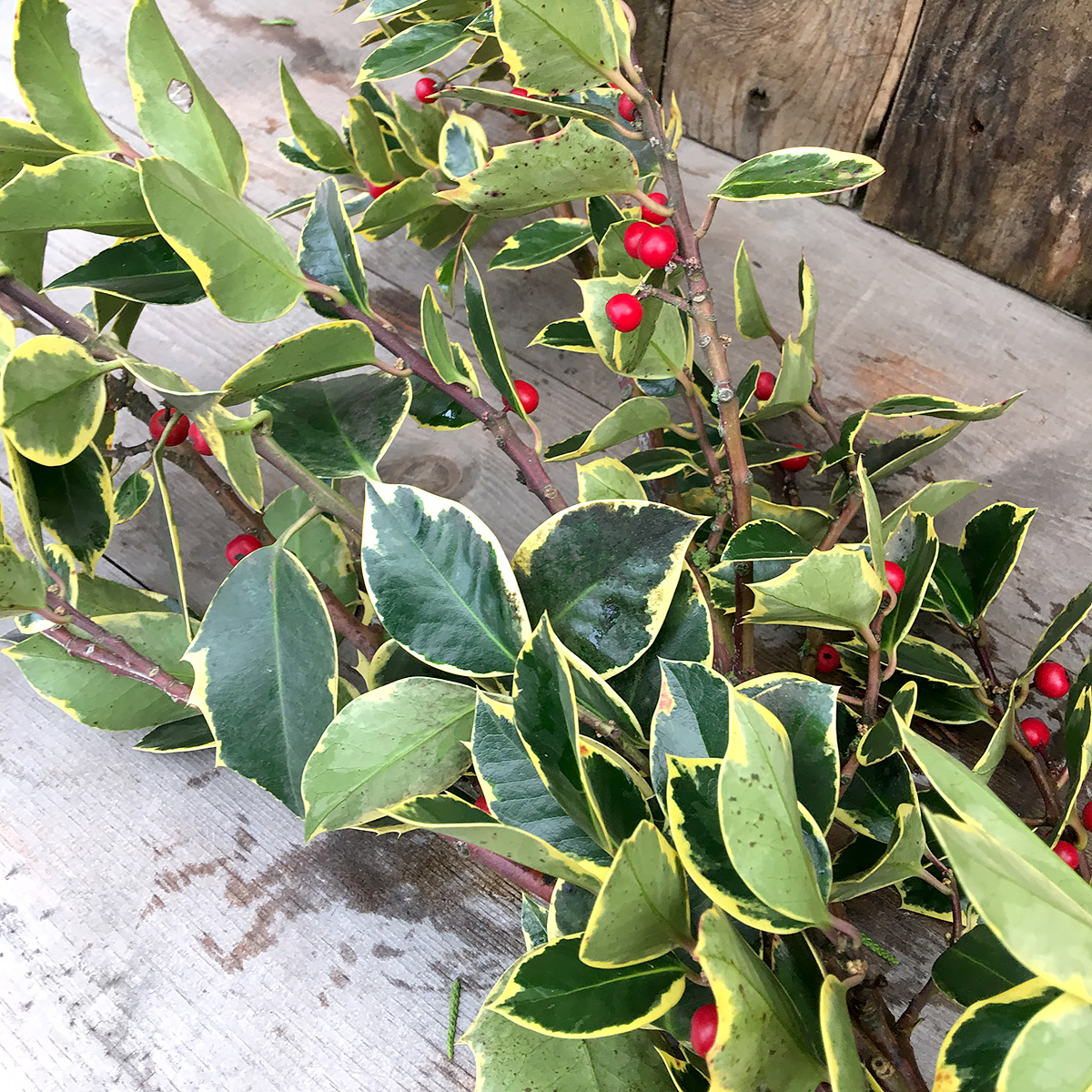 Christmas Greens Evergreen Holly - Variegated