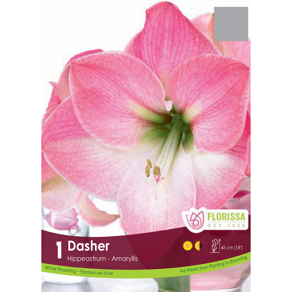 Bulb_Amaryllis_Dasher.jpg