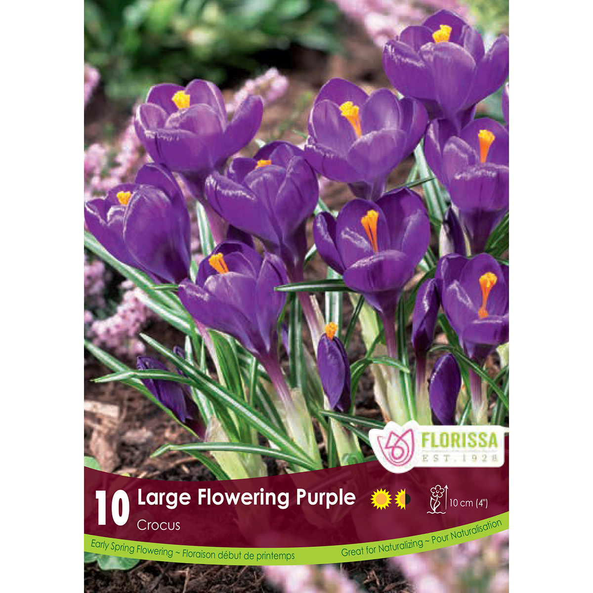 Crocus 'Purple' Bulbs