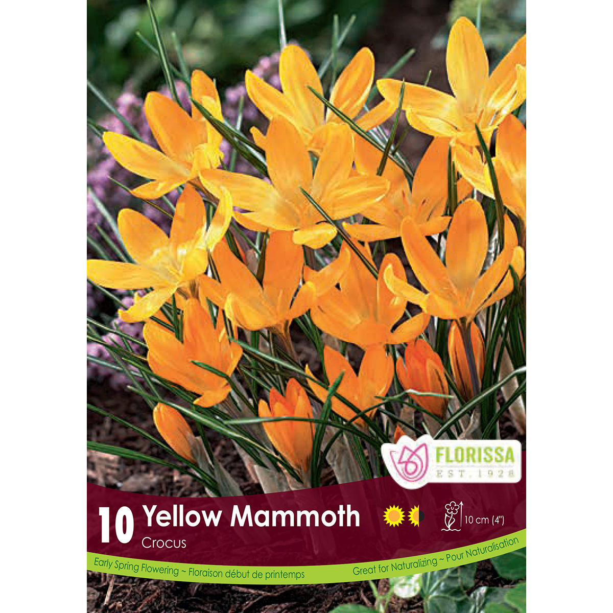 Crocus 'Yellow Mammoth' Bulbs