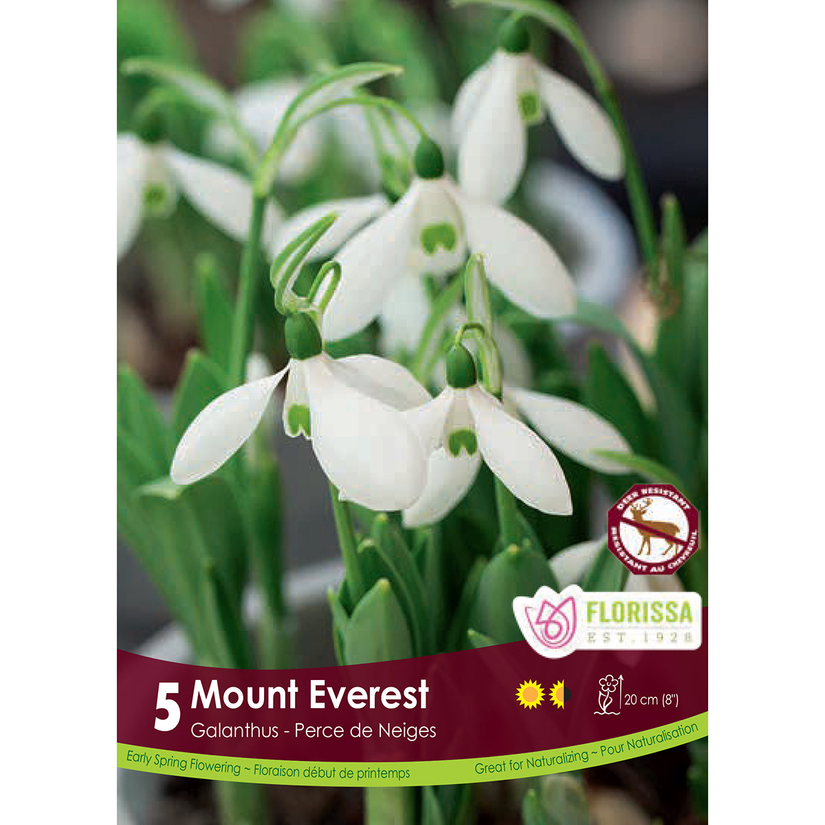 Galanthus 'Mount Everest' Bulbs