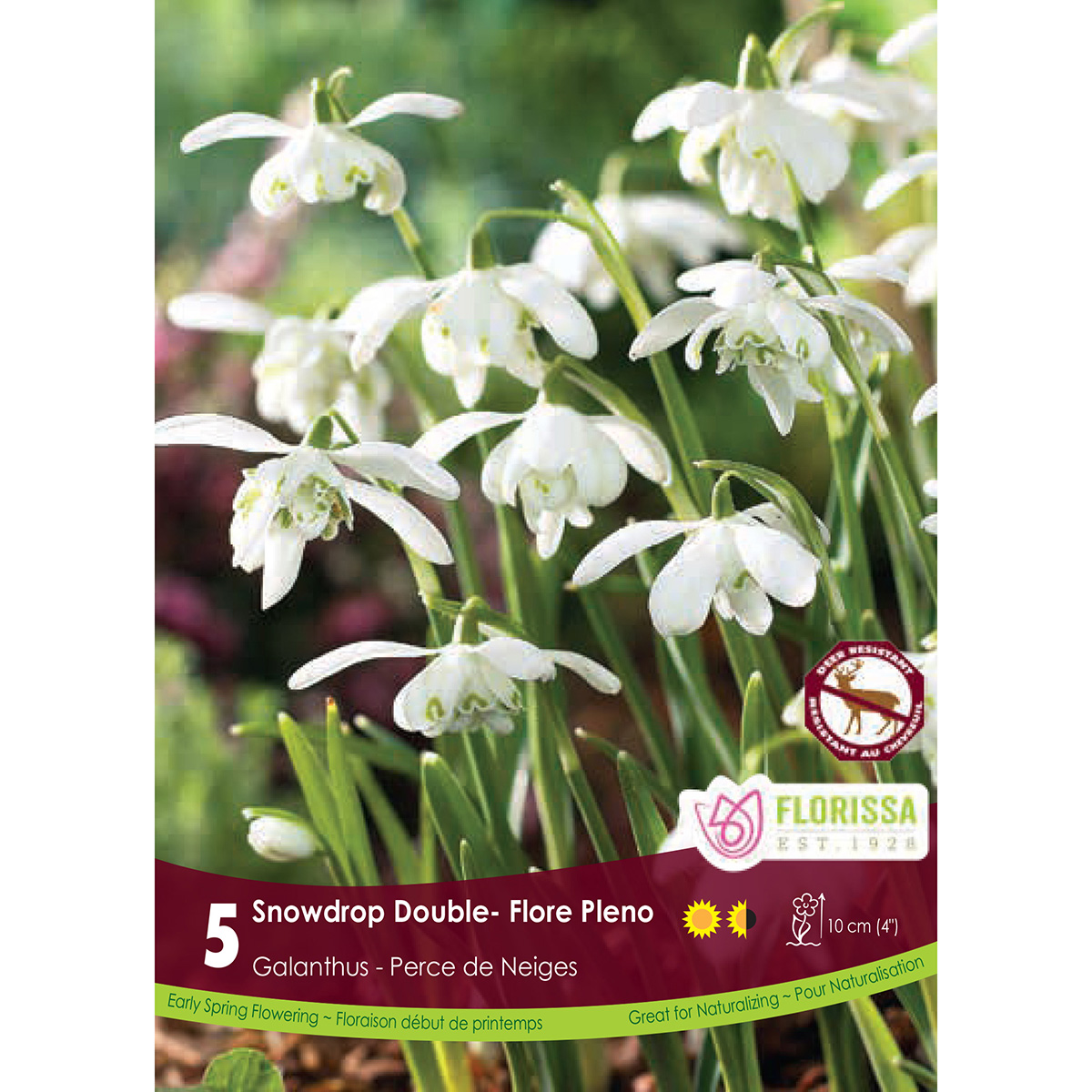 Galanthus 'Floreo Pleno' Bulbs