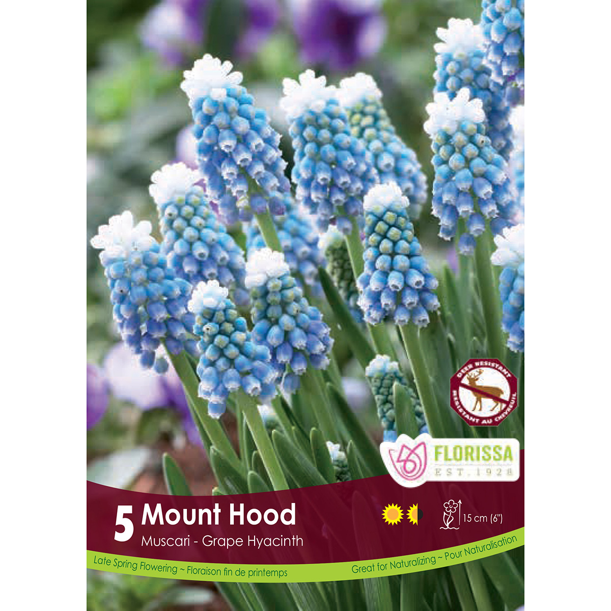 Muscari 'Mount Hood' Bulbs 5Pk