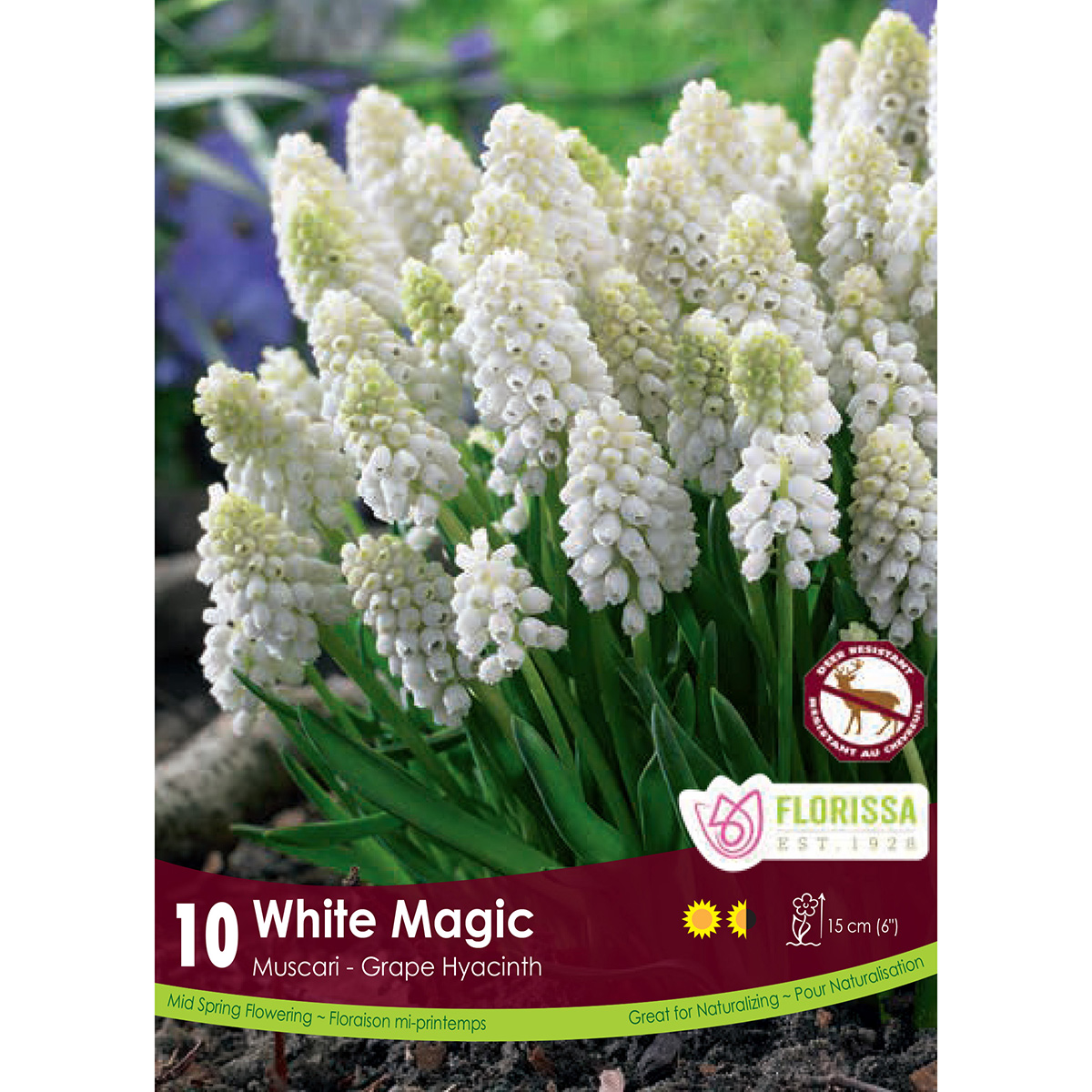 Muscari 'White Magic' Bulbs 10Pk