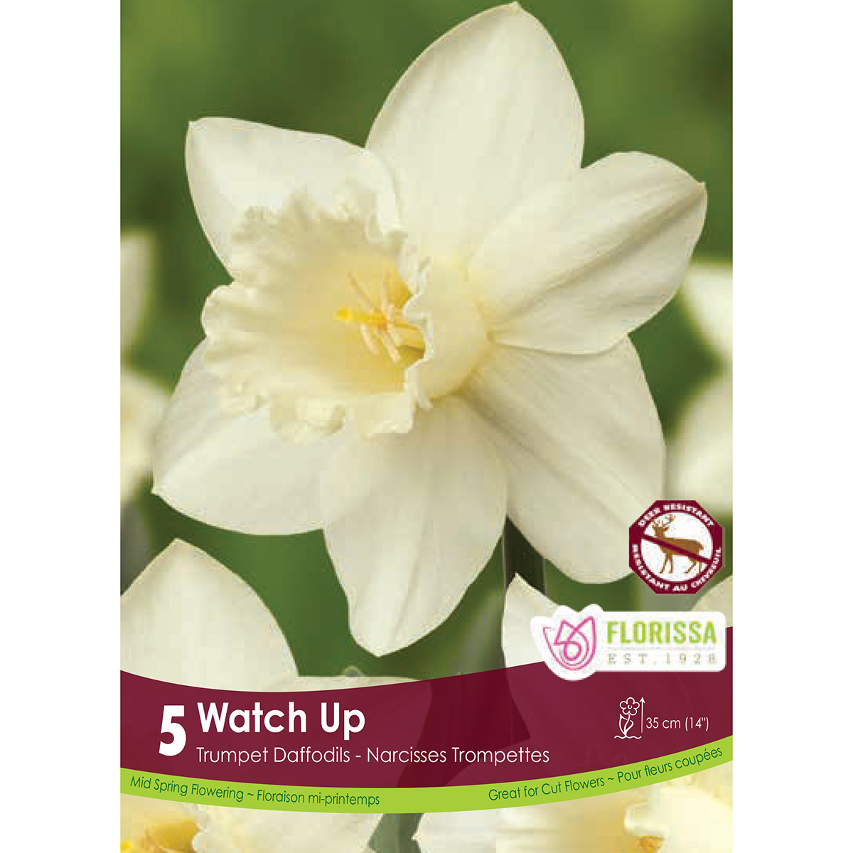 Narcissus 'Watch Up'