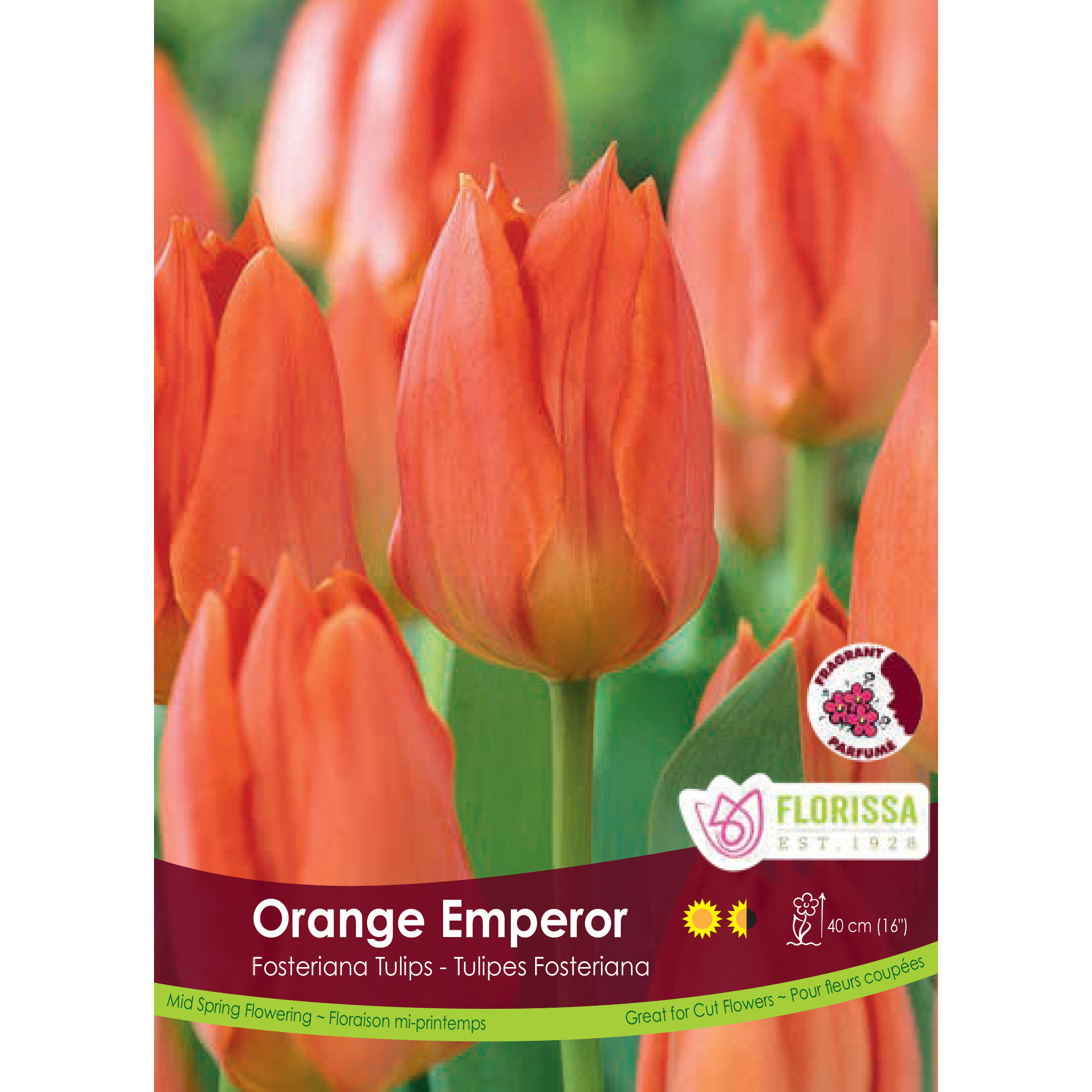 Tulipa 'Orange Emperor' Bulk Bulbs