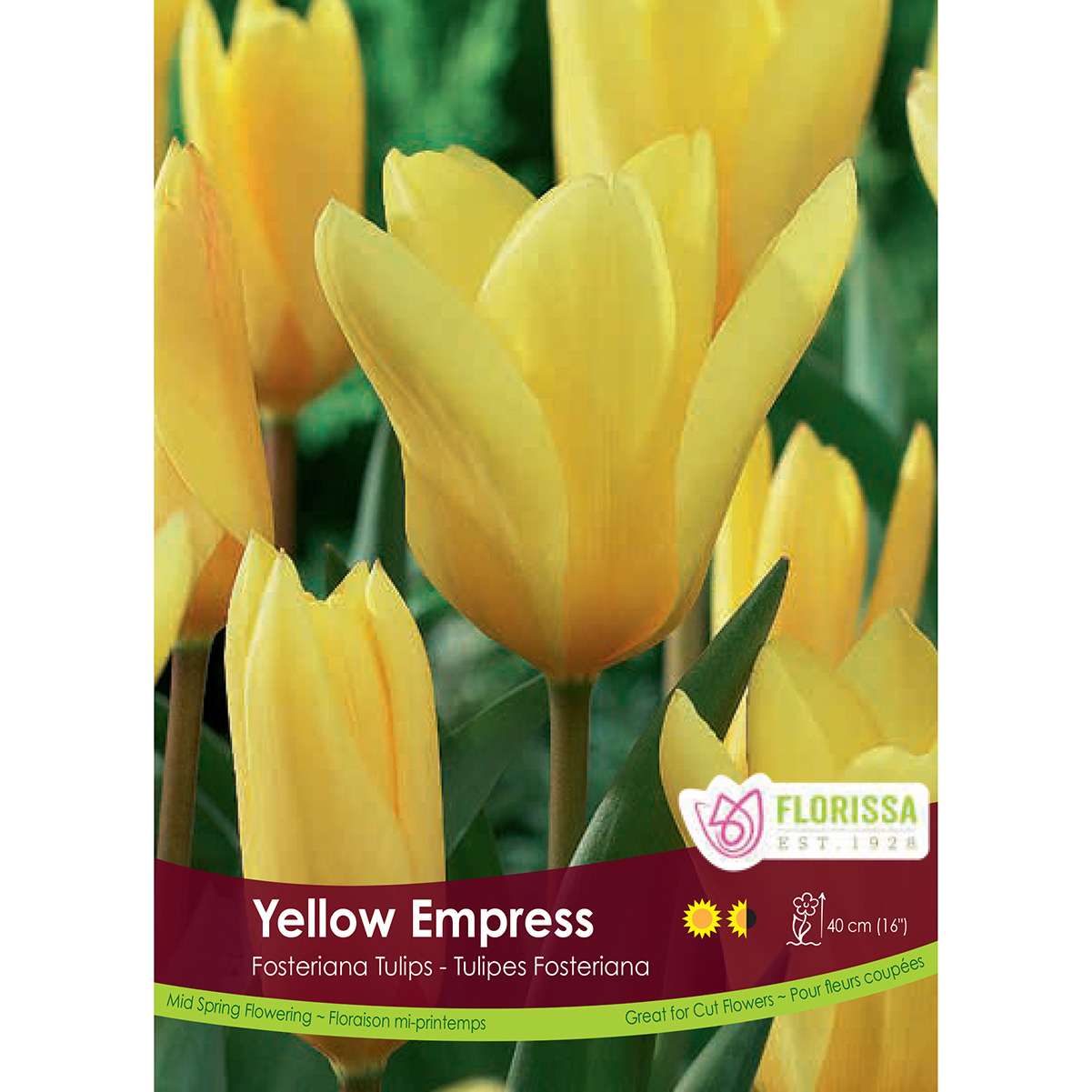 Tulipa 'Yellow Empress' Bulk Bulbs