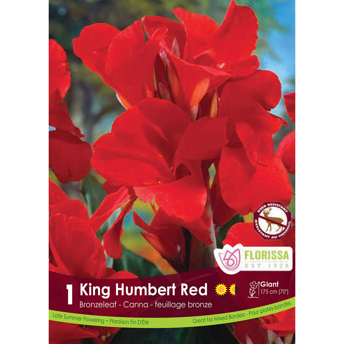 Canna 'Red King Humbert' Root