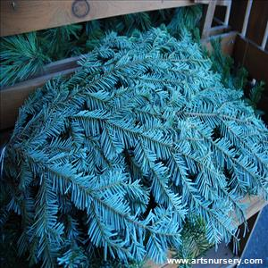 Christmas Greens Abies amabilis