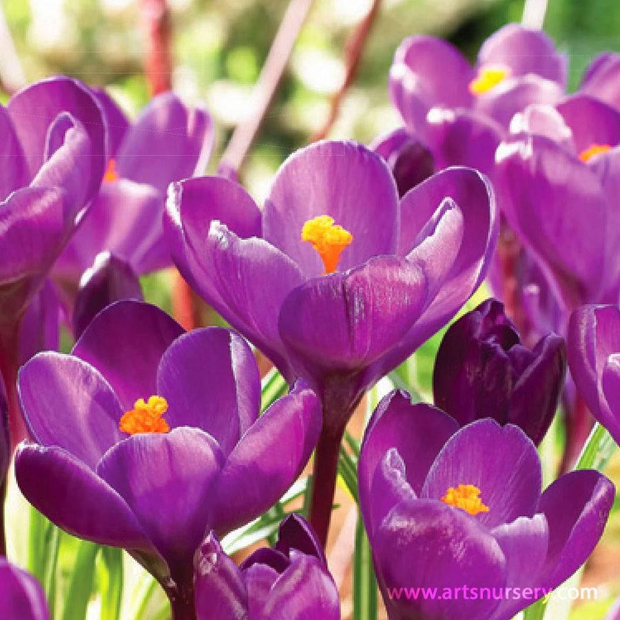Crocus Large Flowering Purple Bulbs