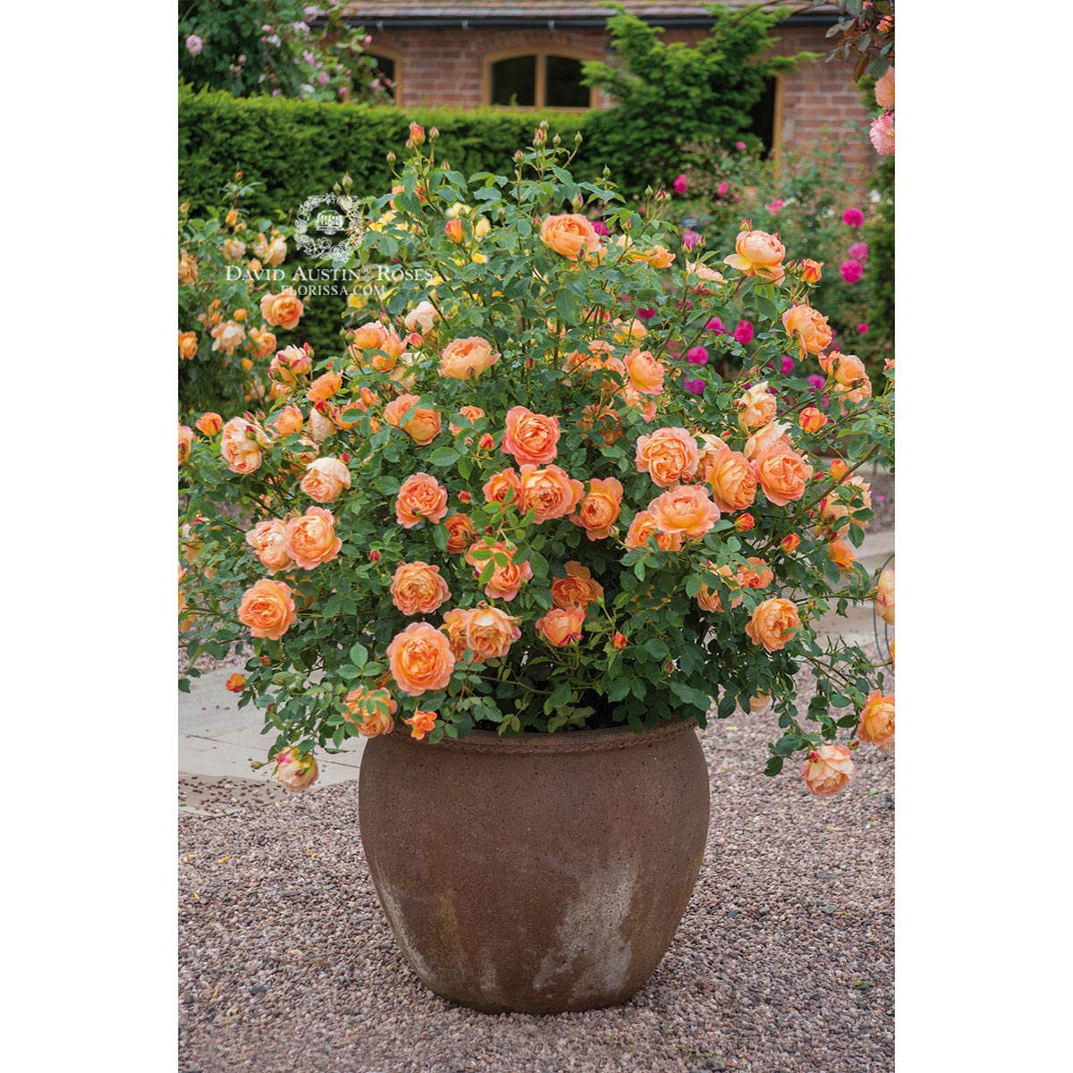 DA_Rose_Lady_of_Shalott_(Ausnyson)_in_pot_1200px.jpg