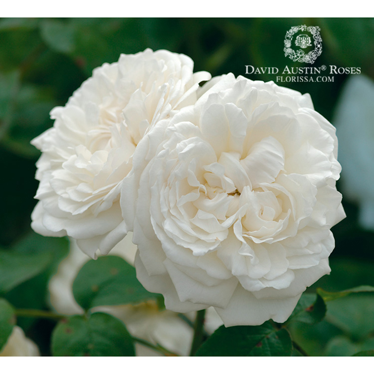 Rosa 'Winchester Cathedral' TF