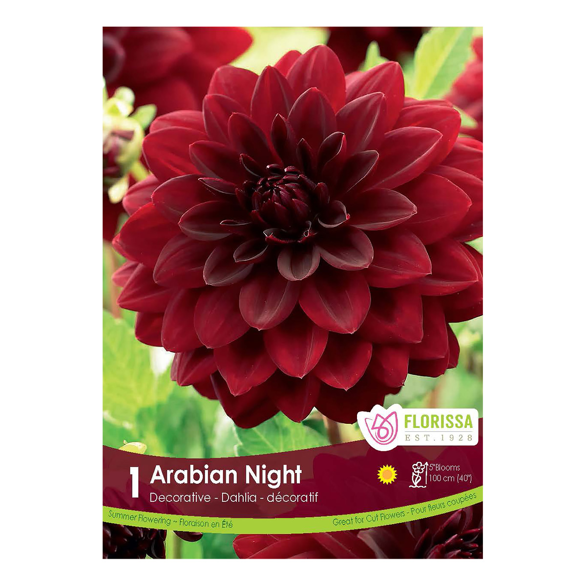 Dahlia Arabian Night Tuber