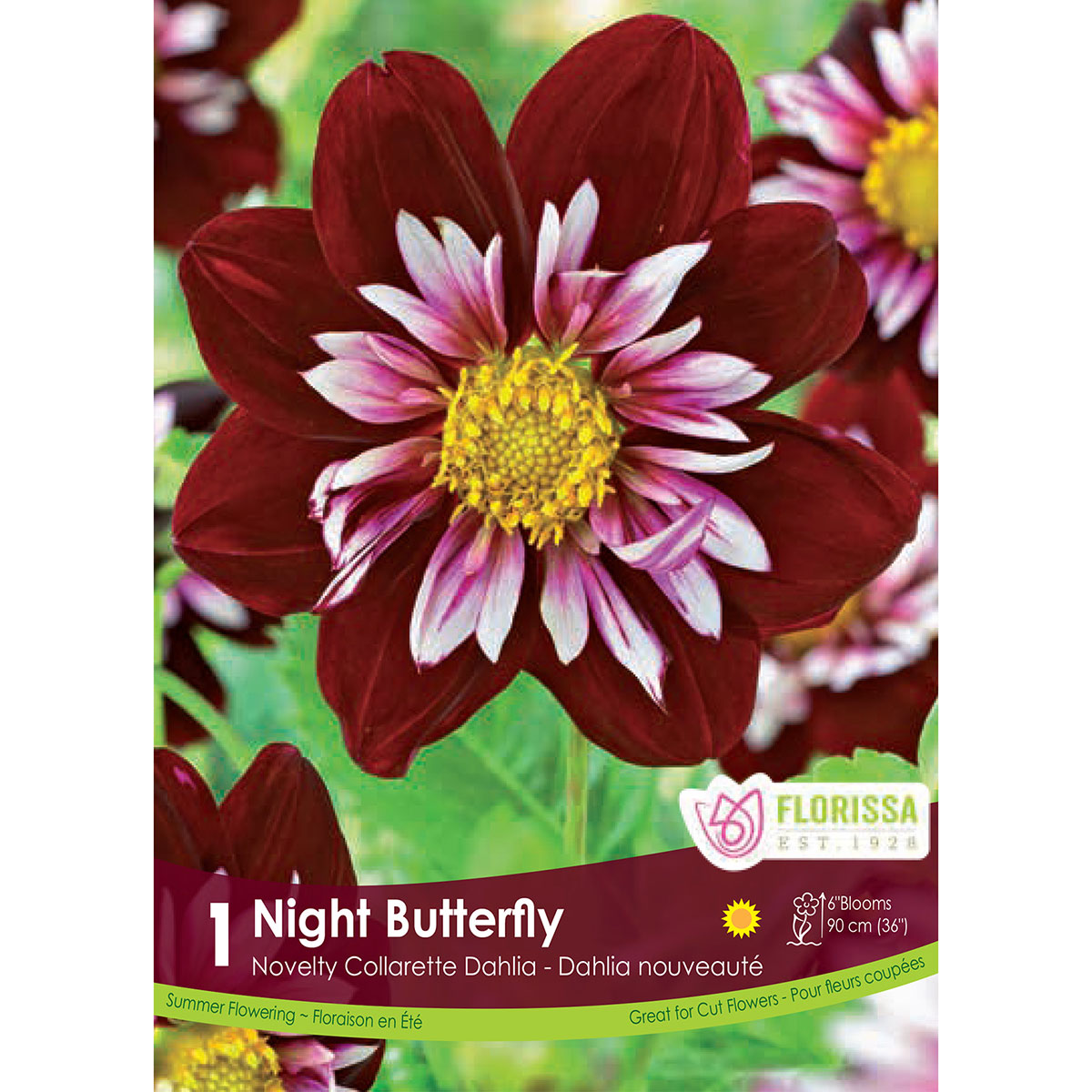 Dahlia_Night_Butterfly.jpg