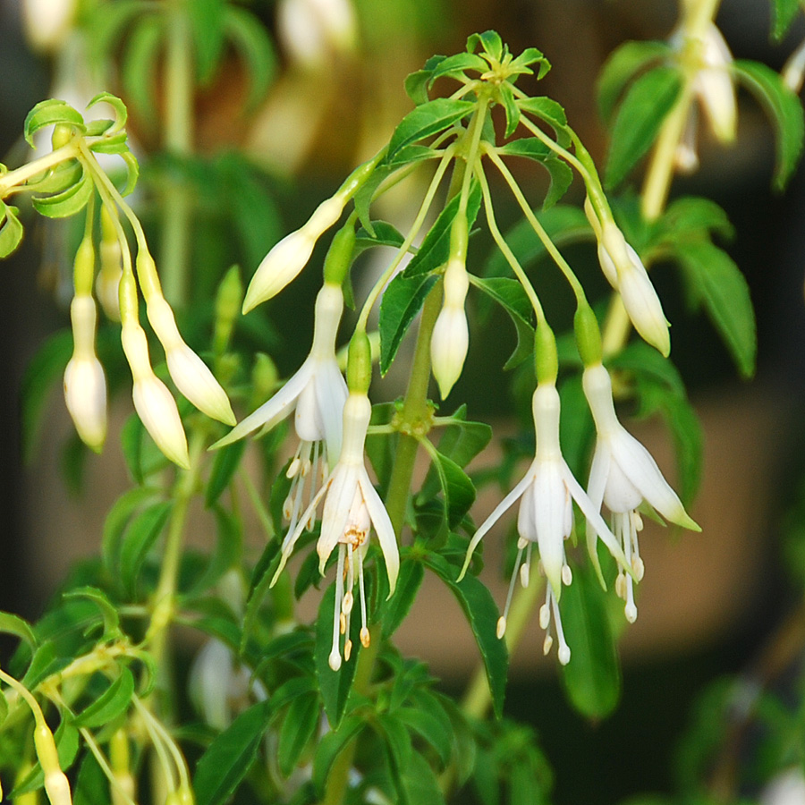 Fuchsia magellanica hawkshead arts nursery ltd for Fuchsia magellanica