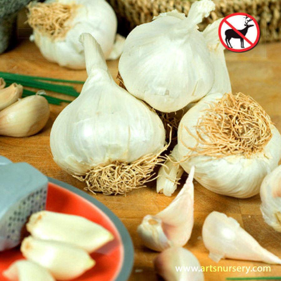 German Hardneck Garlic Bulbs