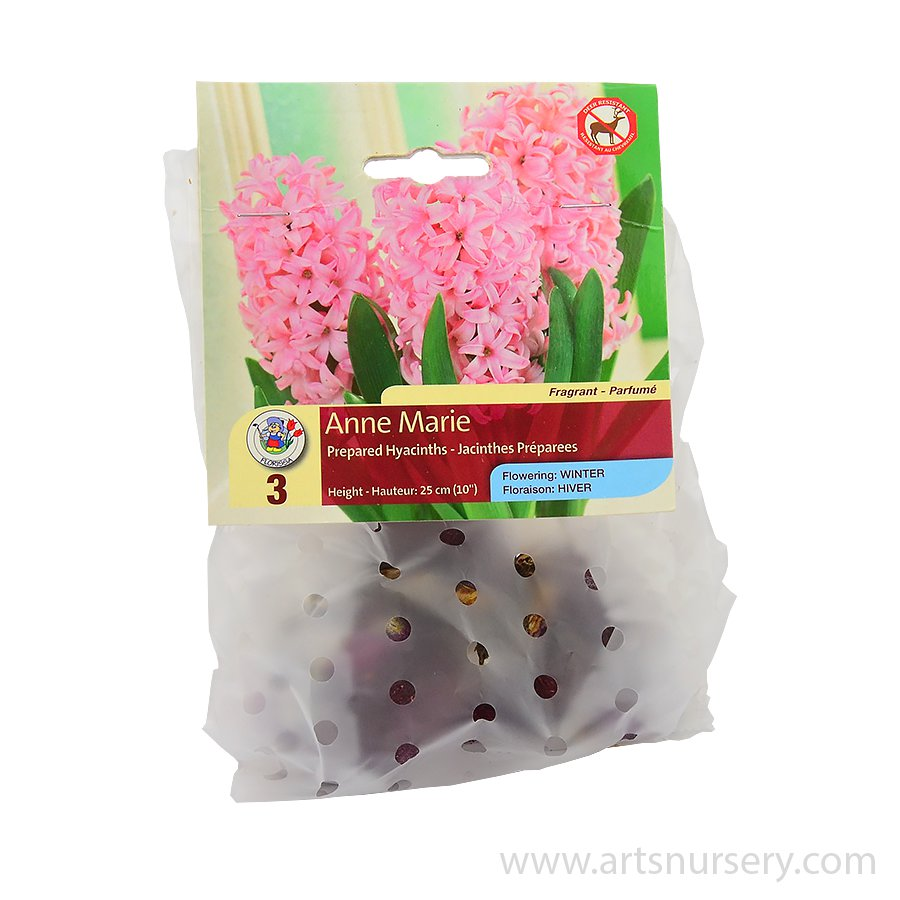 Prepared Hyacinth 'Anne Marie' Bulbs