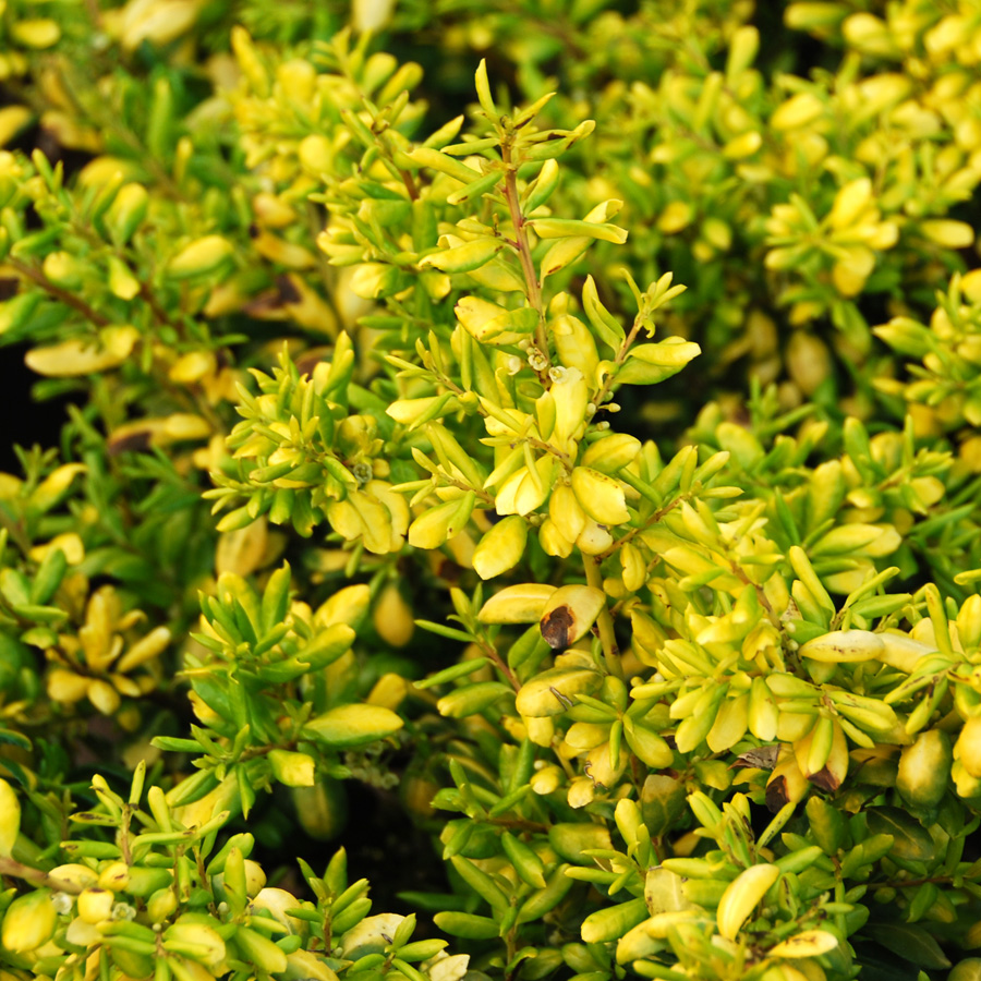 Ilex crenata 'Drops of Gold'