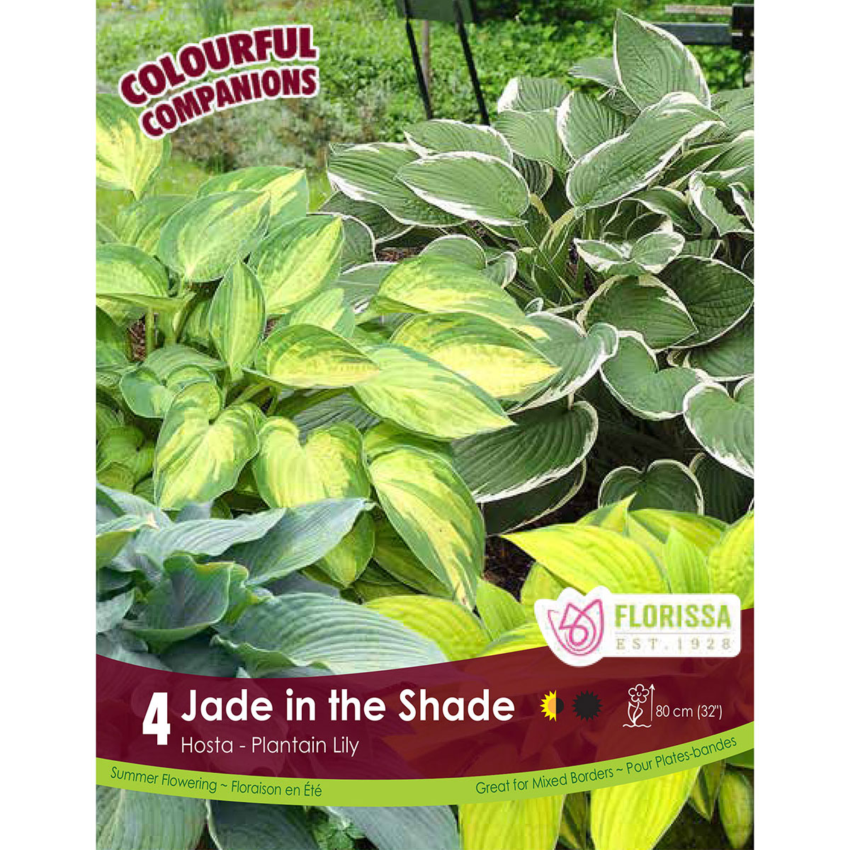 Hosta 'Jade in the Shade' Roots