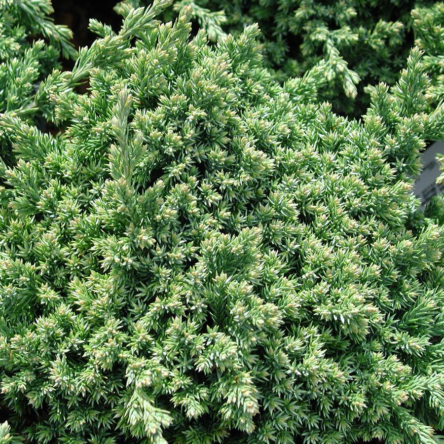 Juniperus procumbens 'Green Mound'