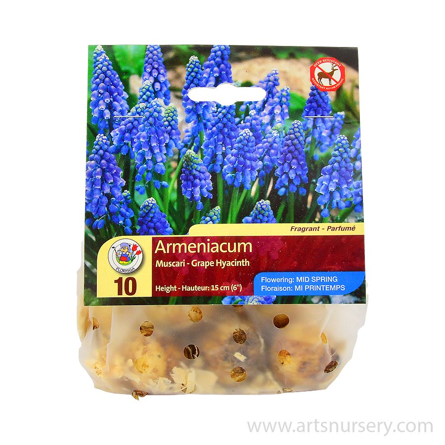 Muscari 'Joyce Spirit' Bulbs