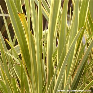 Phormium tenax 'Wings of Gold'