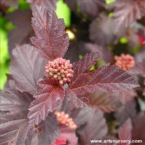 Physocarpus op. 'Diabolo - TREE FORM