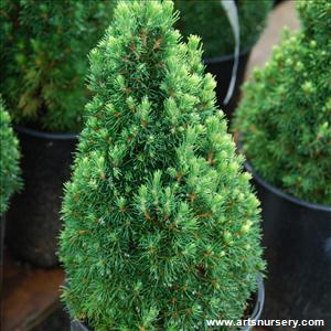 Picea glauca conica 'Jean's Dilly'