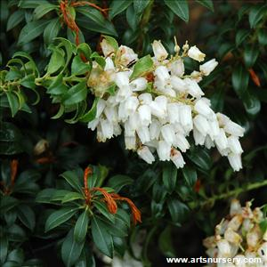 Pieris japonica 'Brookside Miniature'