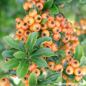 Pyracantha angustifolia 'Mohave'