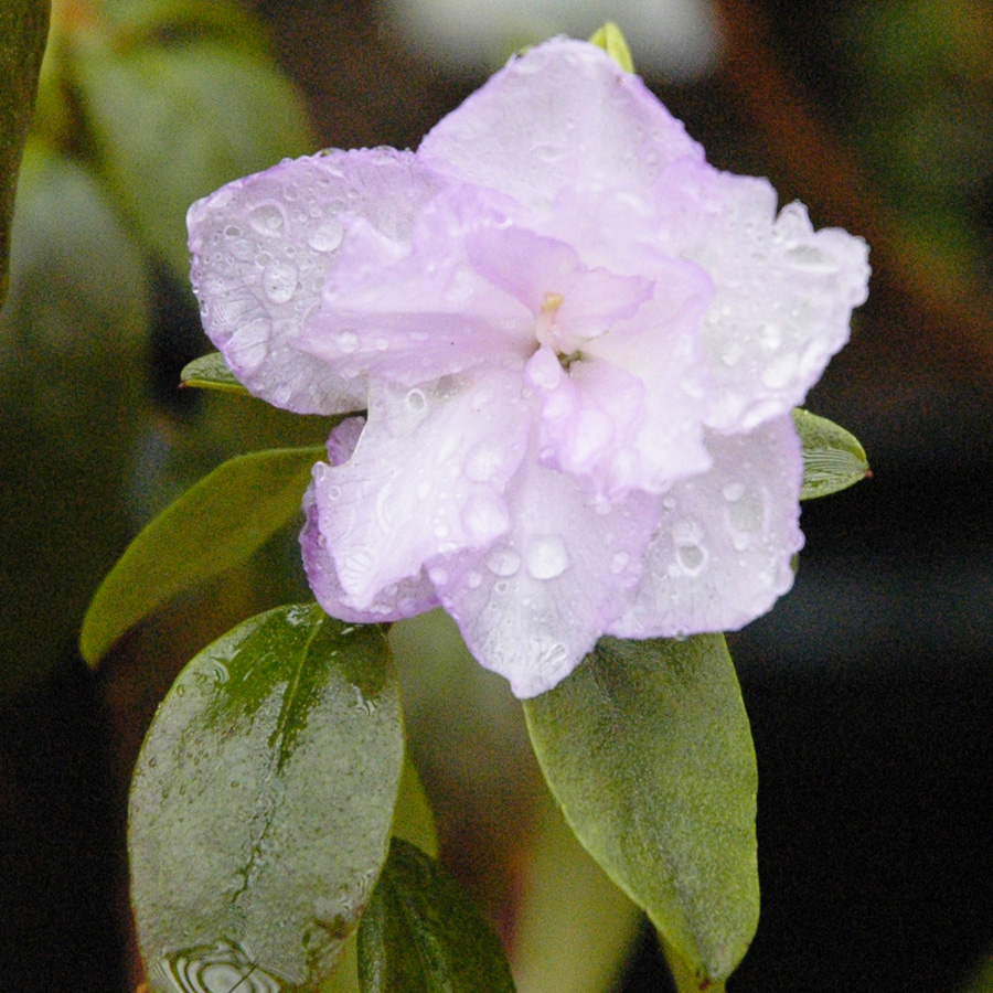 Rhododendron 'April Mist'